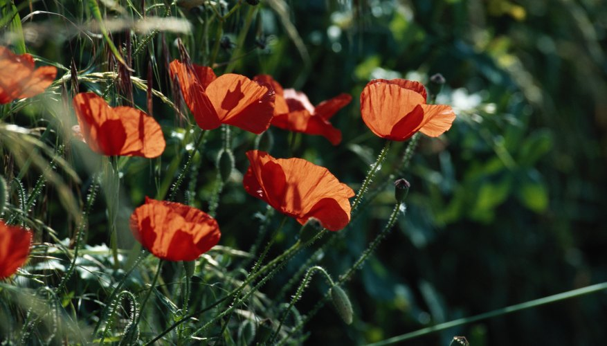 Adonis lives in these anemones, which are also known as poppies.