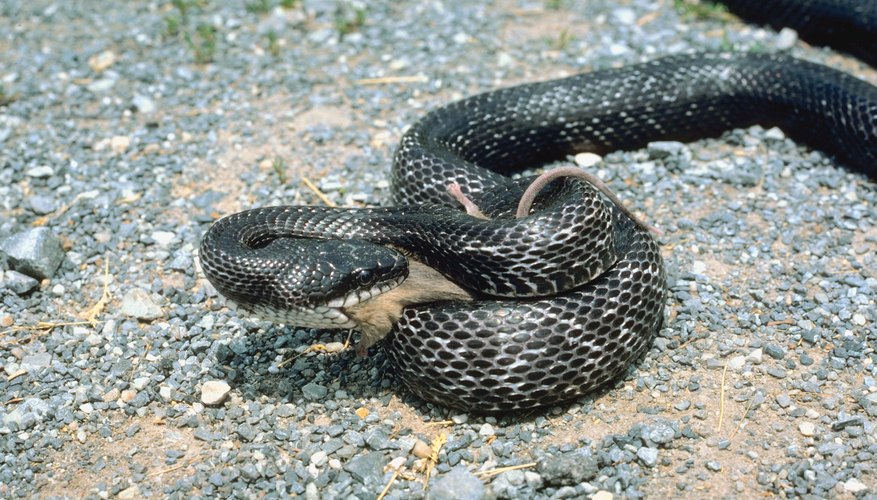 Rat Snakes Are Among The Colubrids Native To Georgia