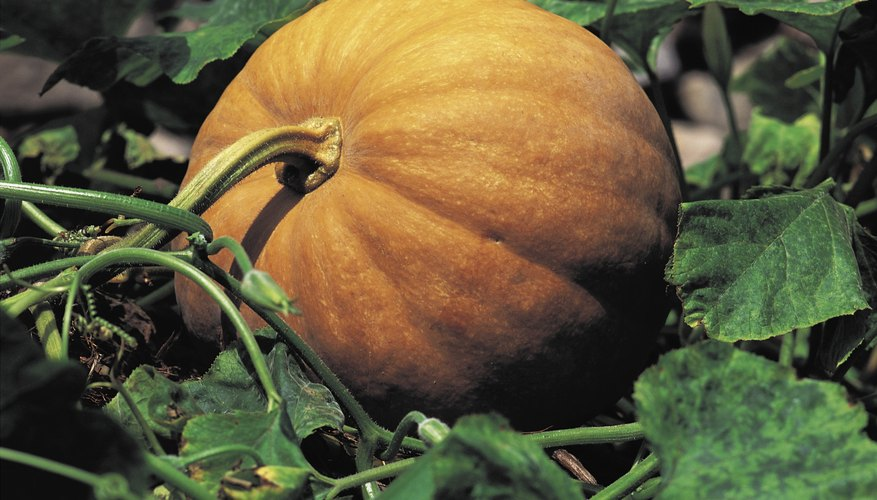 Pumpkin root rot is less likely in light soils with good drainage.