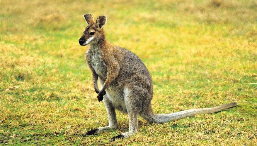 Los canguros ocupan el nicho de los animales de pastoreo en Australia.