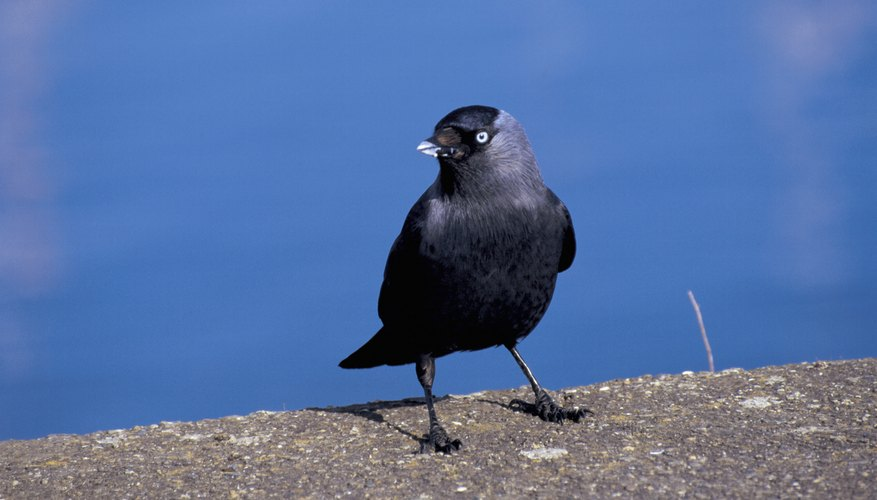 Crows are considered pests by homeowners.