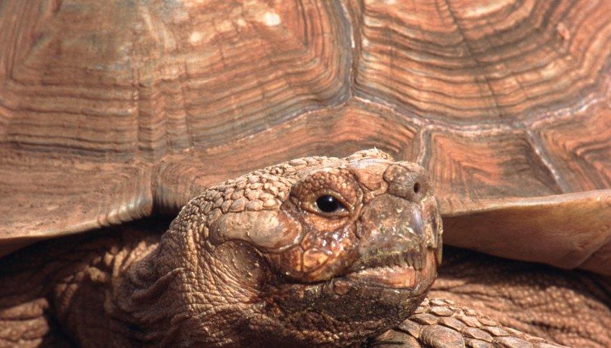 Averigua la edad de tu tortuga.