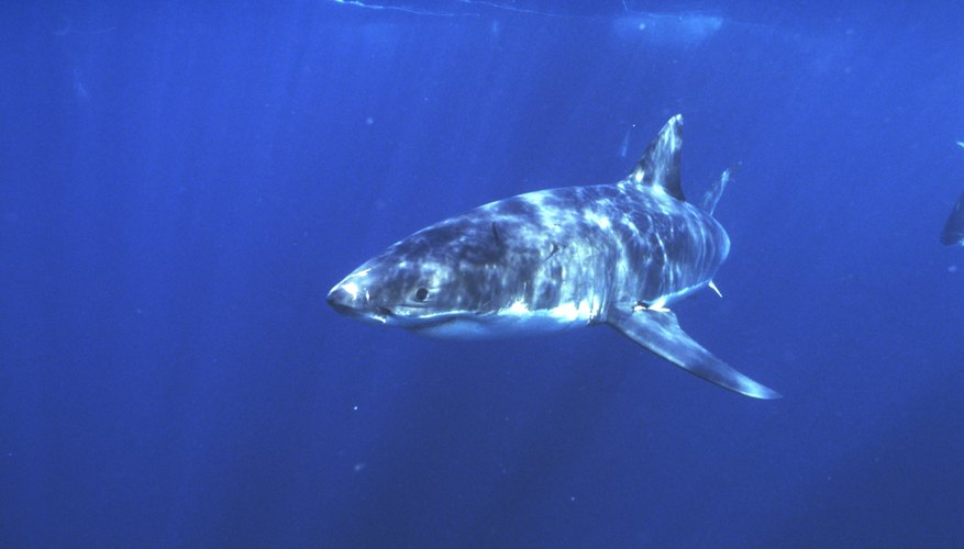 White sharks are active predators but will readily scavenge as well.