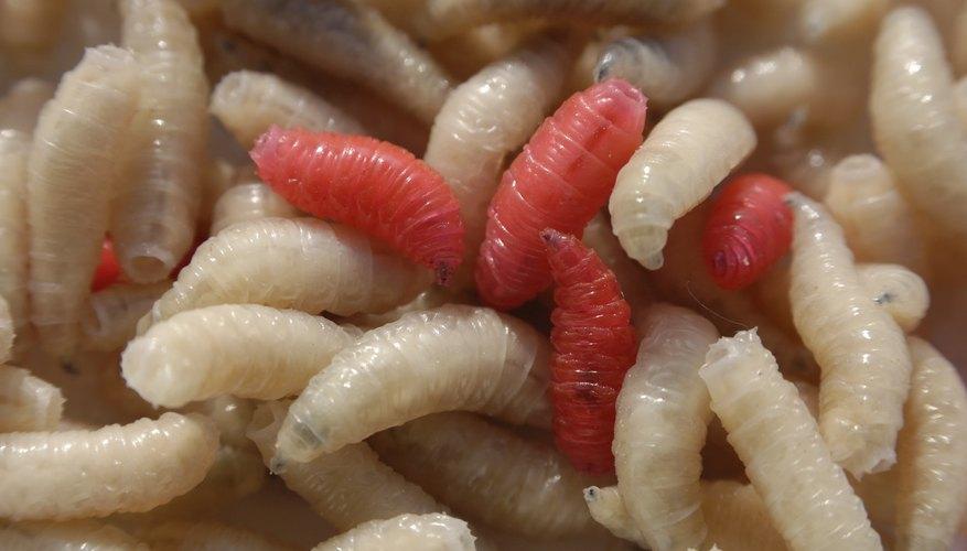 Fly larvae