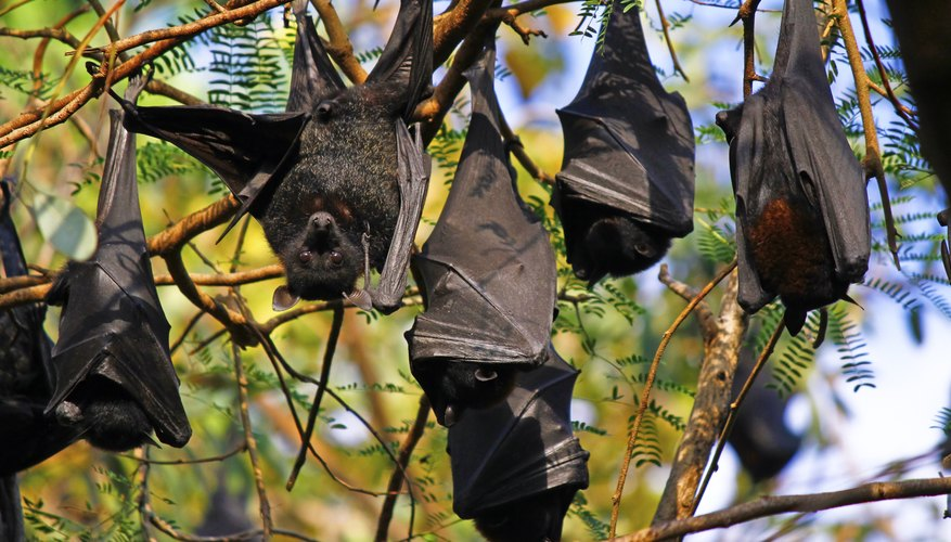 Colony of fruit bats in trees.