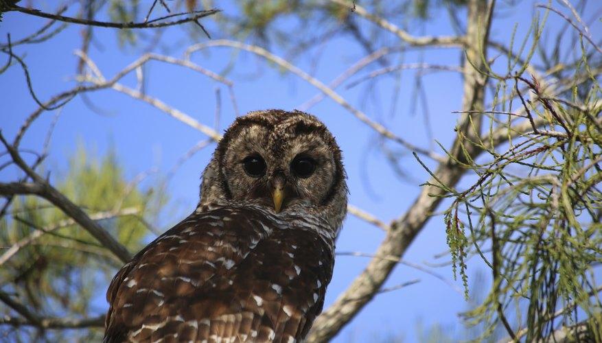 A Barred Owl