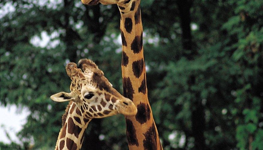 La jirafas tienen cuellos largos que les permite alcanzar las ramas más altas de los árboles.