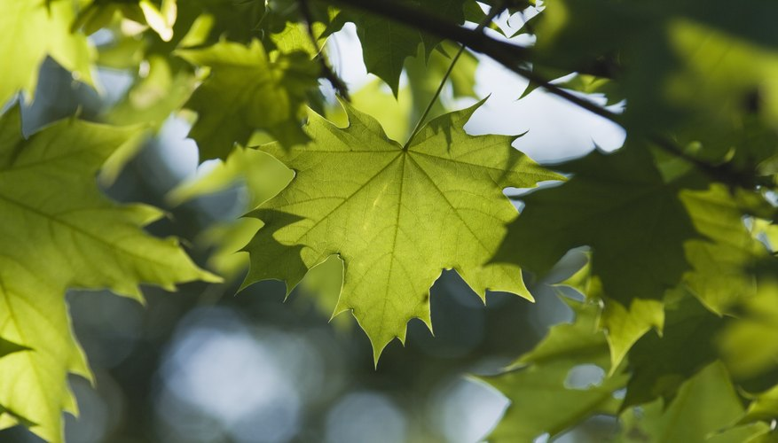 List Of Fast Growing Shade Trees Garden Guides