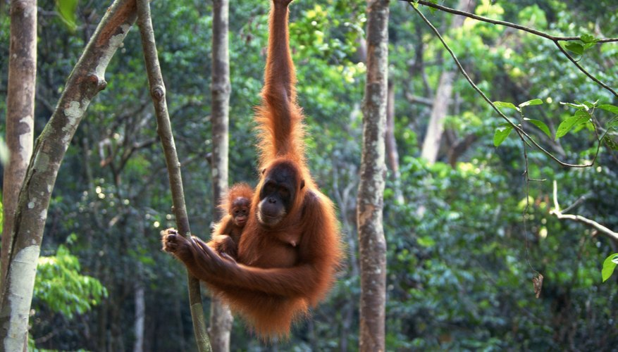 A sumatran orangutan carries her infant through the rainforest.