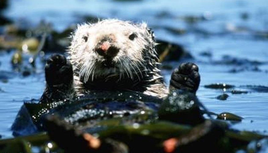 Sea otters feed on sea urchins, controlling the population and reducing the grazing pressure on kelp forests.