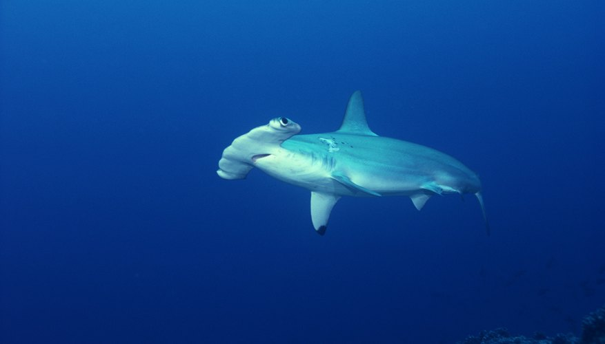 Scalloped hammerheads rarely swim alone.