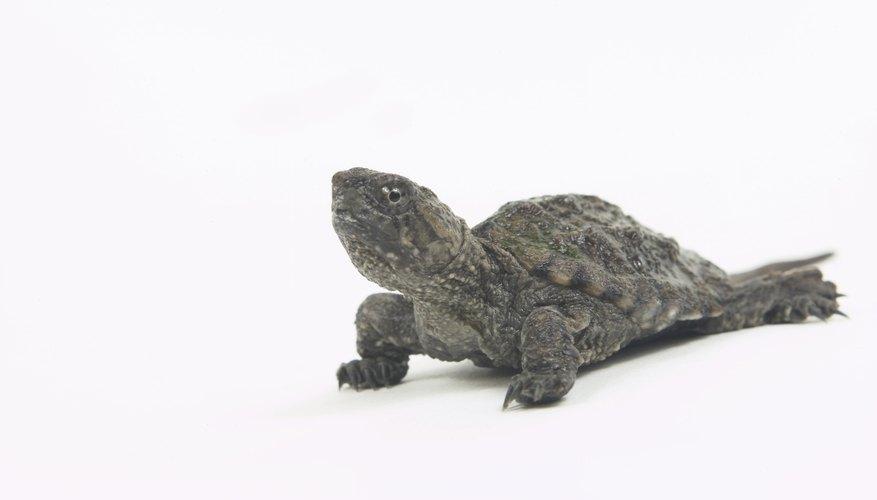 → La adaptación de las tortugas | Geniolandia