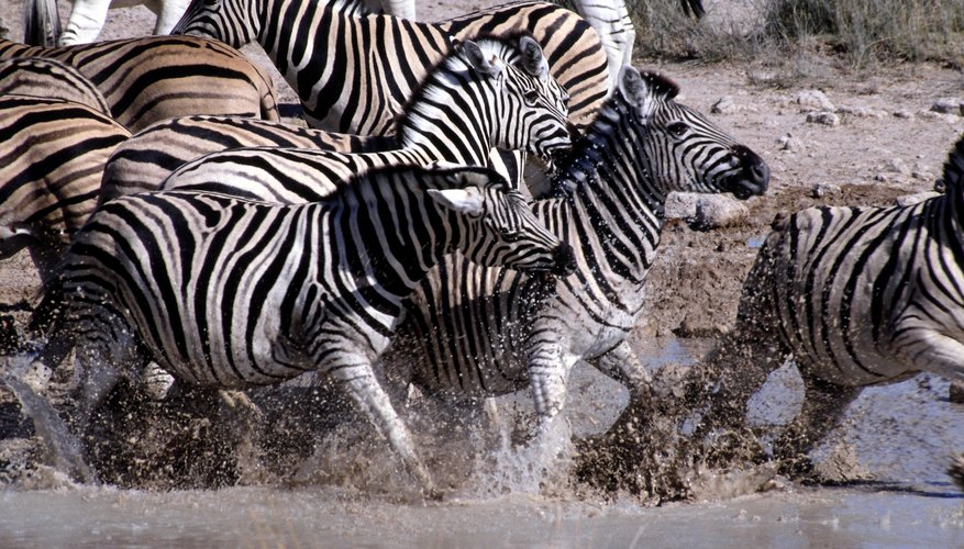 Zebras are a prey species living in grassland ecosystems.