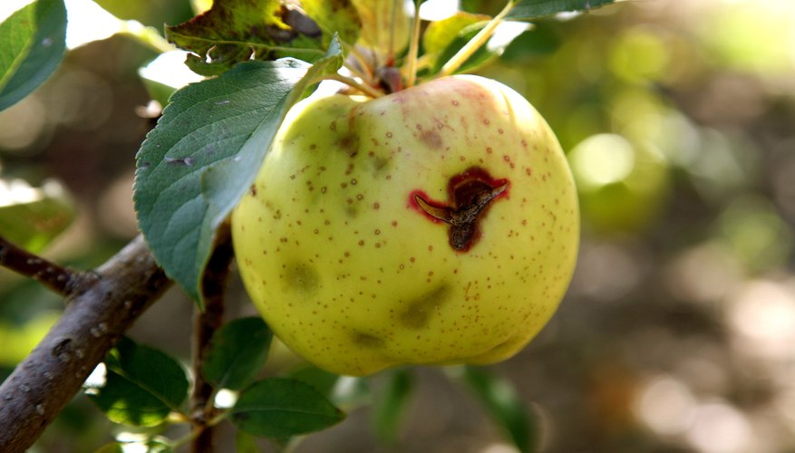 Weather affects apple harvests such as hail.