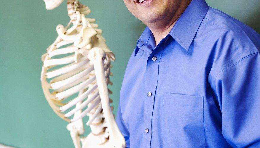 Enseña a los niños sobre el esqueleto humano utilizando diversos modelos.
