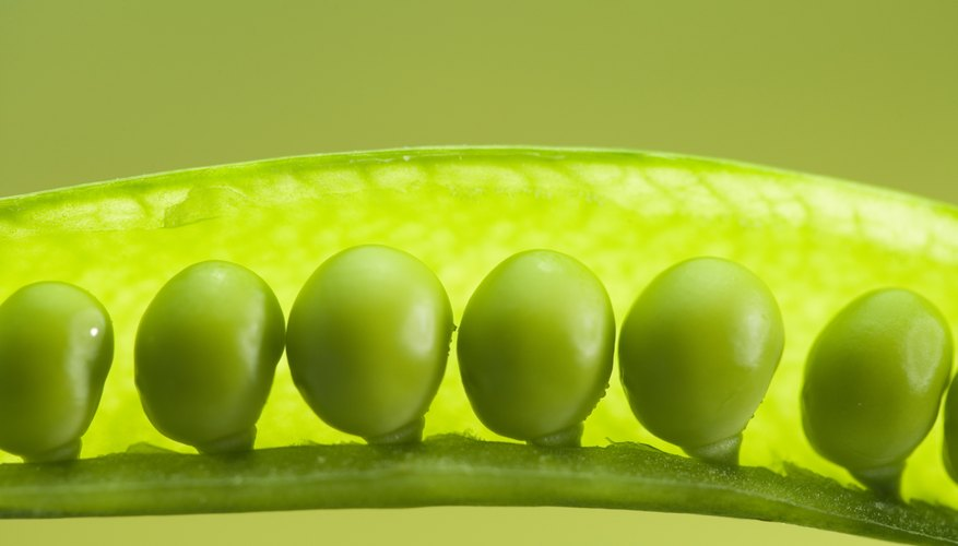 Garden peas are eaten fresh or dried for storing.