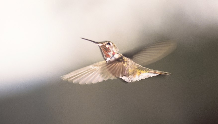 Hummingbirds are a keystone species in desert ecosystems.