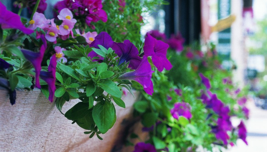 Wave and cascading petunias exhibit different growth characteristics.