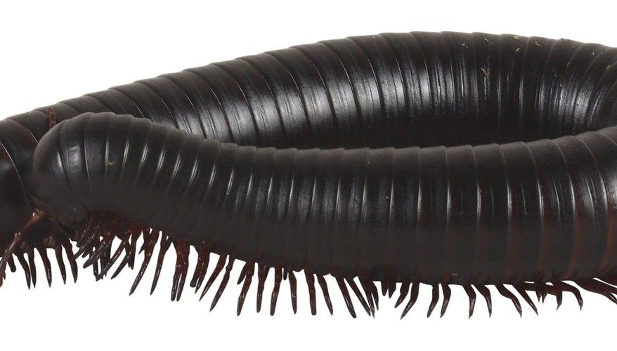 Algunos ciempiés tienen cerca de 200 pares de patas.
