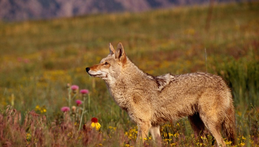Coyotes are one of Pennsylvania's most effective predators.