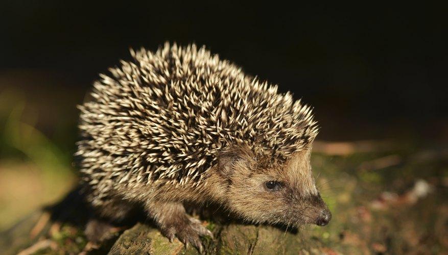 Hedgehog Adaptation