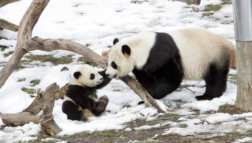A mother panda plays with her cub.