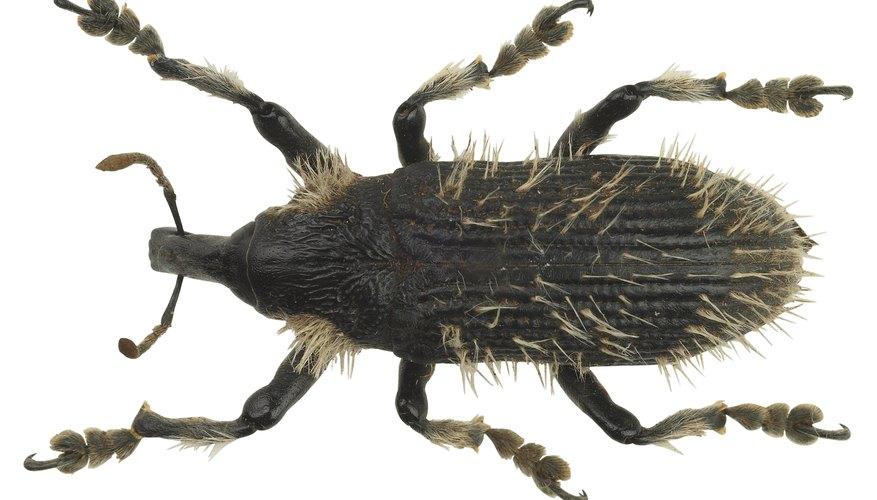 Los gorgojos son un tipo de escarabajo con hocico y antenas acodadas.