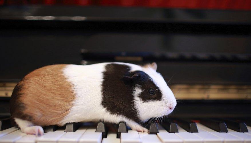 A pet guinea pig walks across a piano keyboard.