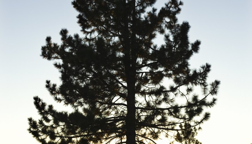 Pine trees grow in many habitats throughout the world.
