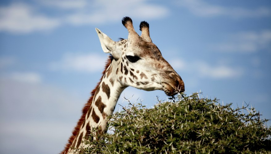A giraffe eats leaves from the top of a tree.