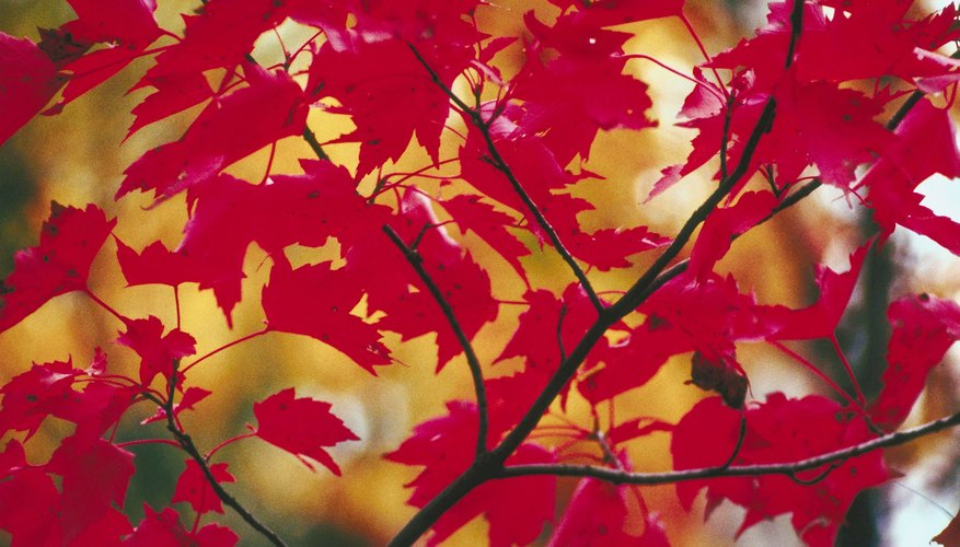 Red Maple Tree Facts