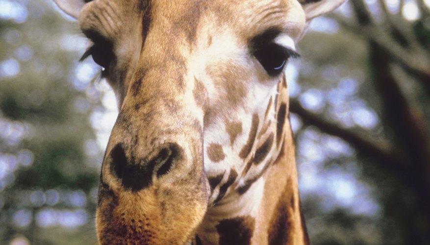 Las jirafas pueden correr a velocidades de hasta 35 mph (56 km/h).