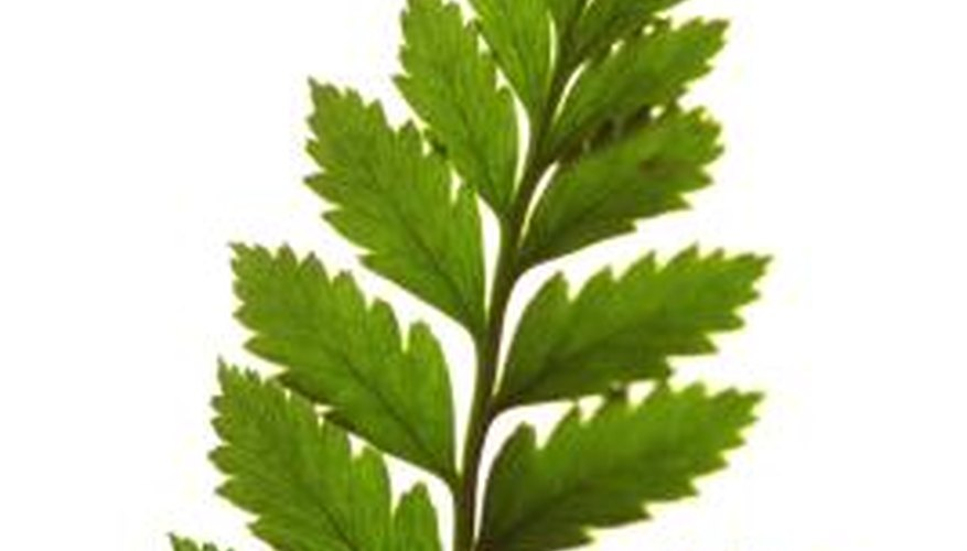 Ferns are one of the oldest vascular plants