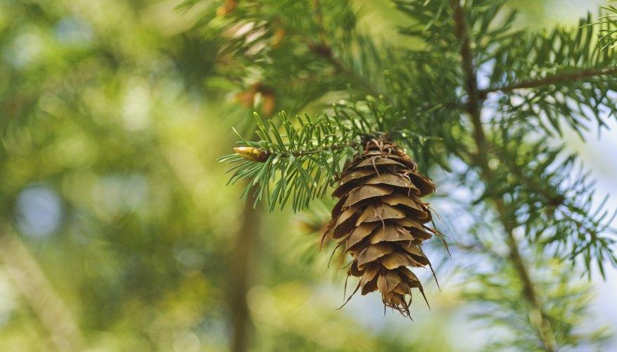 Los pinos tienen racimos de agujas y una corteza escamosa similar a una placa.