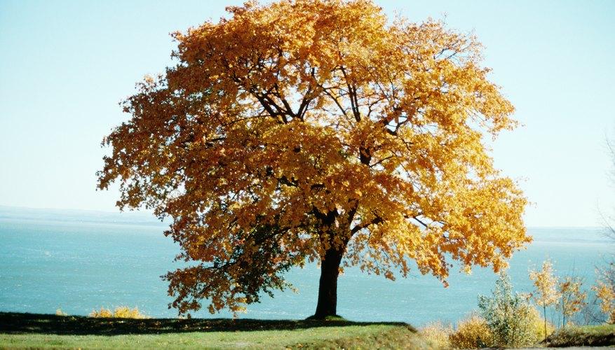 Los nudos ocurren en la madera cuando una rama se incrusta en el tronco del árbol, ya que aumenta de diámetro.