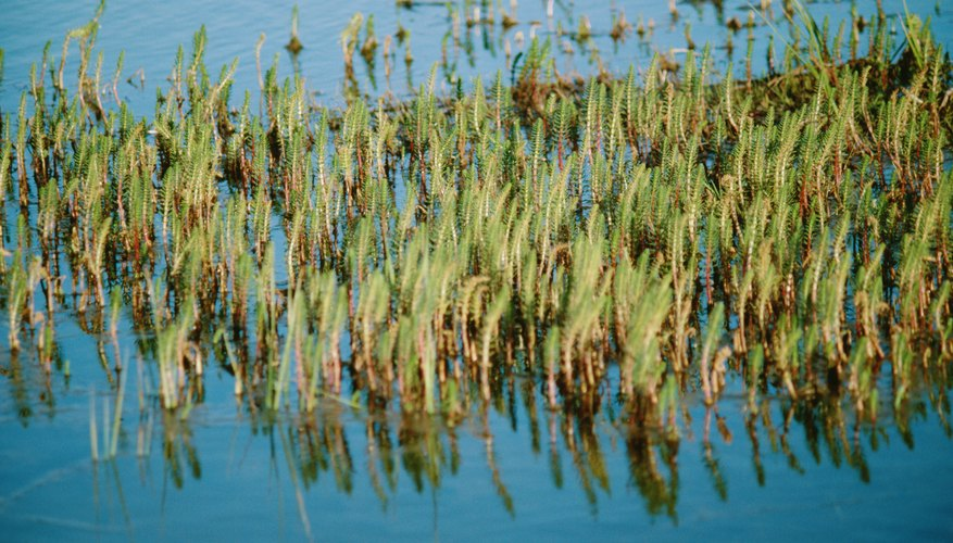 Cattail plants thrive in a freshwater biome.