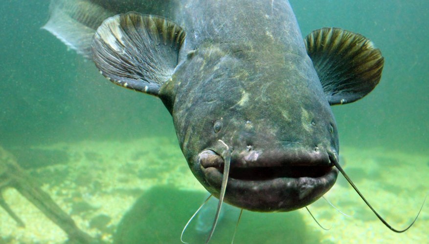 Catfish swimming underwater