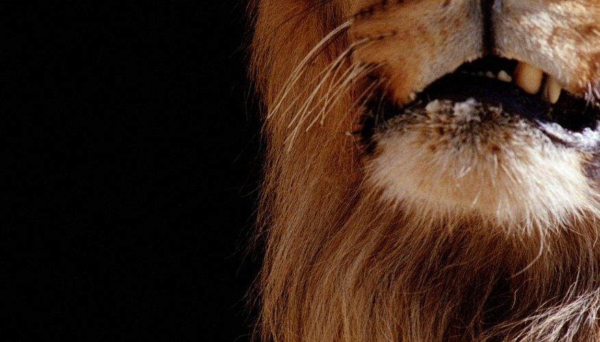 Los leones de montaña, también conocidos como pumas concolor o pumas, una vez habitaron la mayor parte de América del Norte.