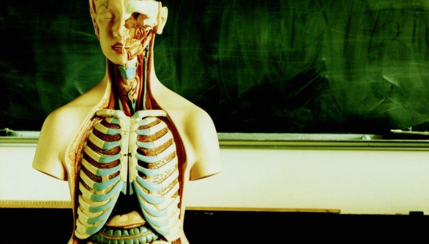 → Definiciones de anatomía humana y fisiología | Geniolandia
