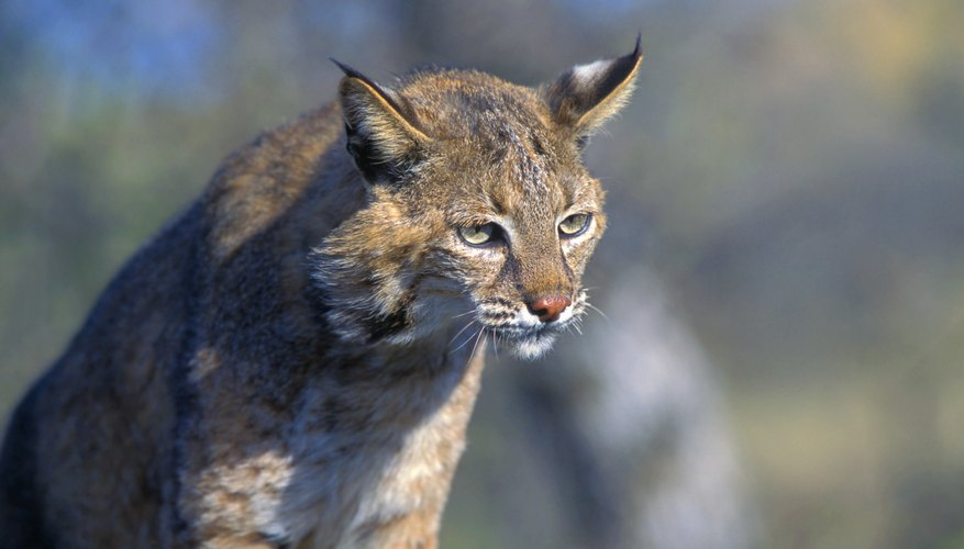 A bobcat stalks pray in the wild.