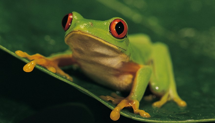Use a reference photograph to craft a realistic tree frog.
