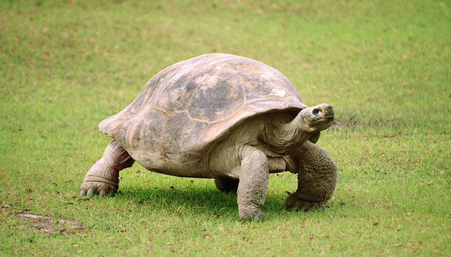 The Florida box turtle has elephant-like hind legs