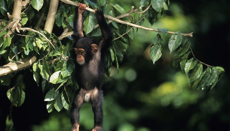 A chimpanzee has strong arms.