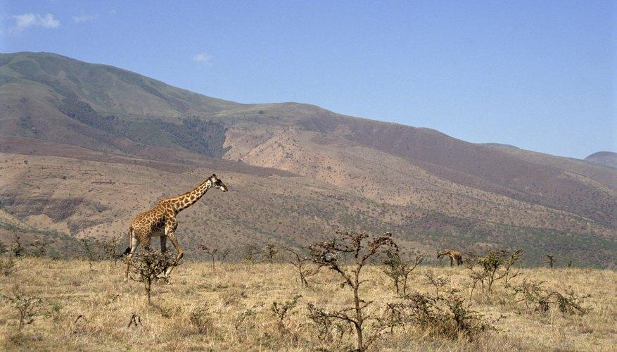 Two wild giraffes grazing in an African savanna.