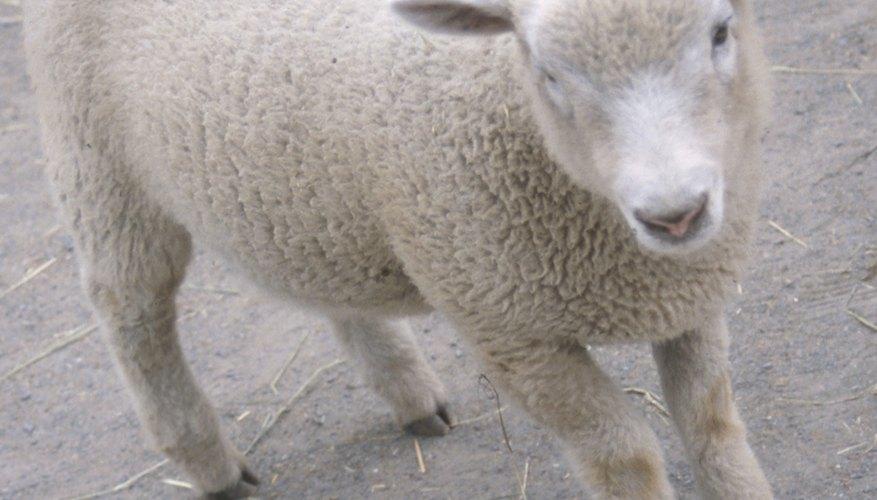 Haz divertidas orejas de oveja con bolas de algodón.
