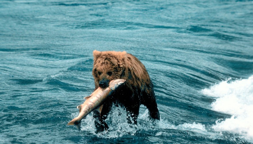 Brown bears are top predators, but since they eat a variety of fish and smaller food items, they fit better into a food web than a food chain.