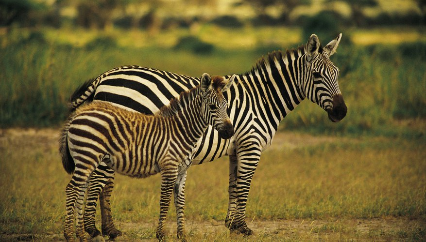 Plains zebra mares protect their foals from danger.