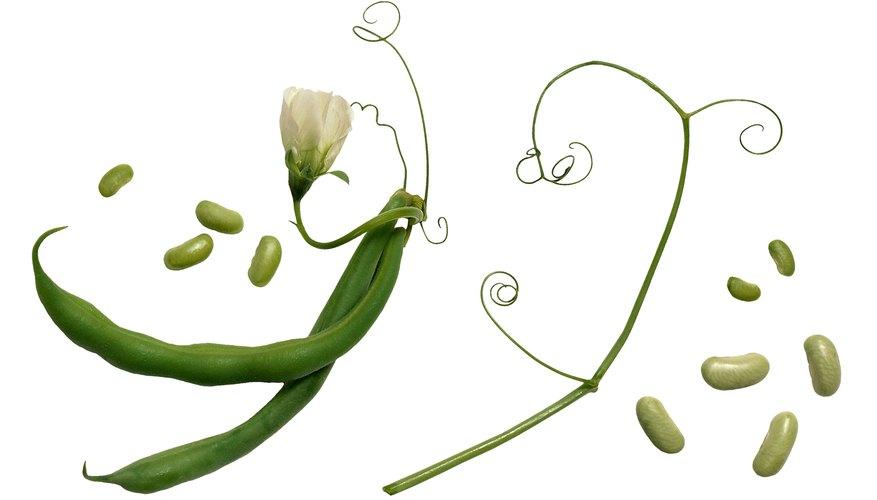 Experimenta el cultivo de semillas de frijol en diferentes condiciones.