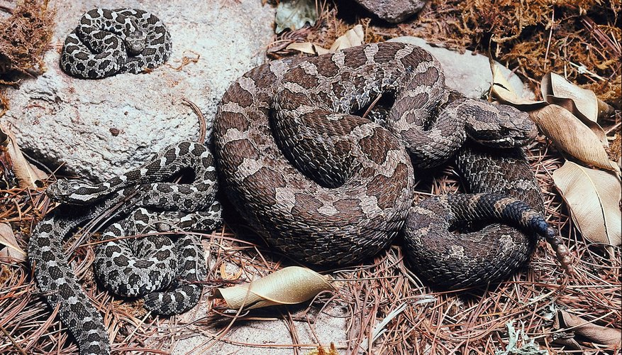 What Do Rattle Snake Dens Look Like