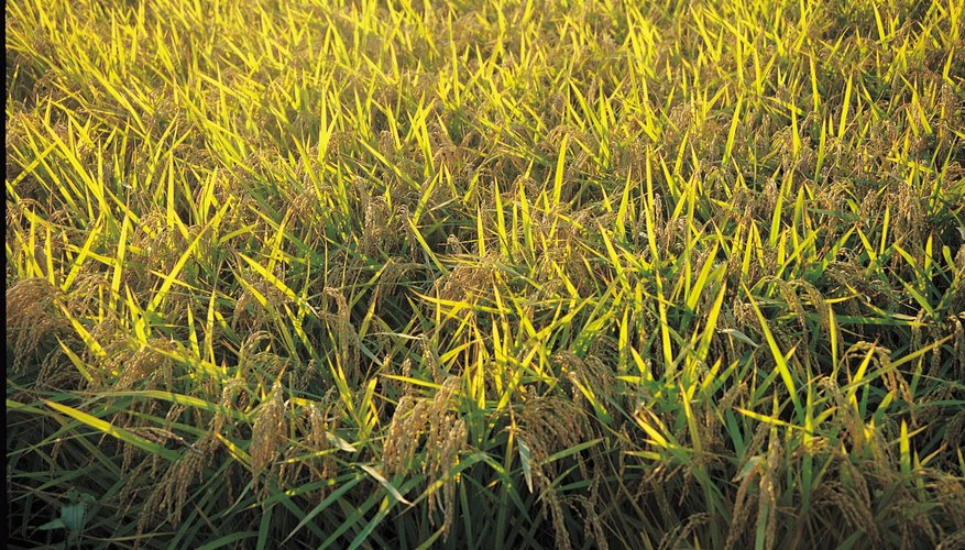 Yellowing grass may be the symptom of a disease.